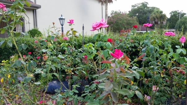 Rose Garden 6 jpg